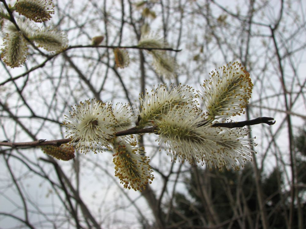 salix-discolor-pussy-willow-male_buds_1000x750