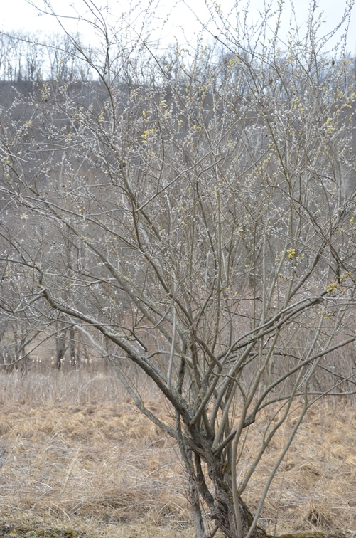 salix-discolor-pussy-willow-mature-tree-size